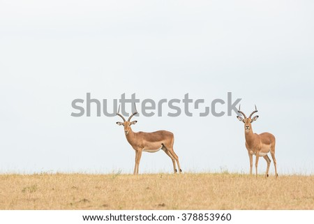 Two male impala standing in Kruger Park South Africa - stock photo