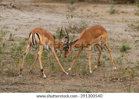 Two male impalas (Aepyceros melampus), locking horns in a fight for territorial dominance, in the Serengeti, Tanzania - stock photo