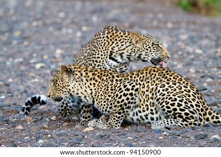 Two male leopards cleaning each other in a dry riverbed