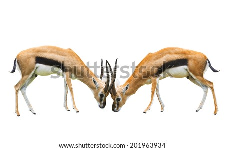 two male thomson's gazelle fighting by horn isolated white background - stock photo