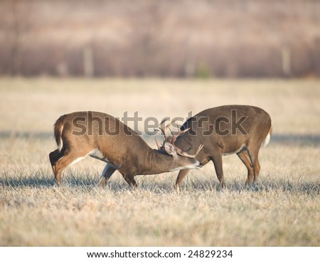 Two male whitetail deer spar in an open field during the rut - stock photo