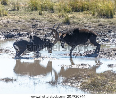 Two males Sable antelope (Hippotragus niger) fight for leadership of the herd in Chobe National Park - Botswana, Africa - stock photo