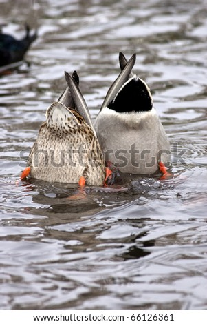 Two mallard ducks diving under water in search of food. - stock photo