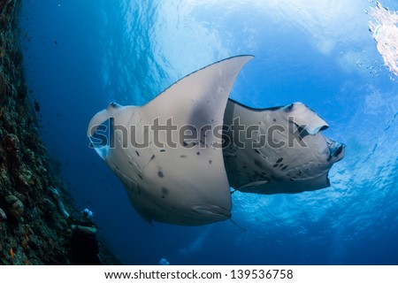 Two manta ray crossing while cleaning in maldives dive site - stock photo