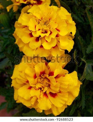 two marigold flowers, natural background - stock photo