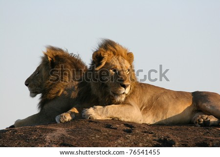 Two massive male lions lying on a rock