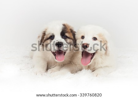 Two mastiff puppy dog smiling and lying on the soft floor. Studio photography - stock photo