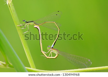 two mating damselflies on the vegetation, take photos in the wild natural state, in Luannan County, Hebei Province, China.