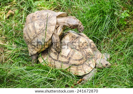 Two mating turtles hidden in the tall, green grass - stock photo