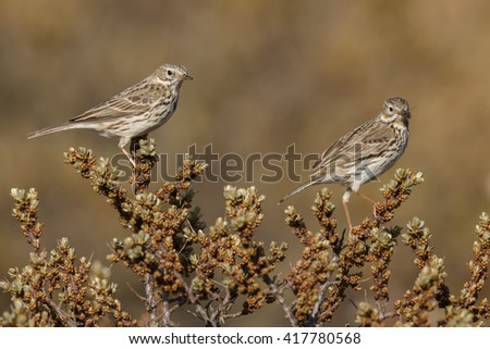 Two Meadow pipit on a twig - stock photo