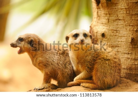 Two meercats sitting near tree - stock photo