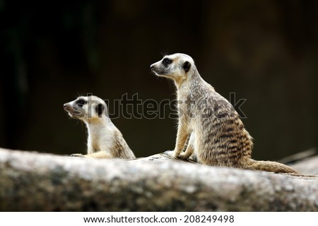 Two Meerkats Doing Sentry Duty - stock photo