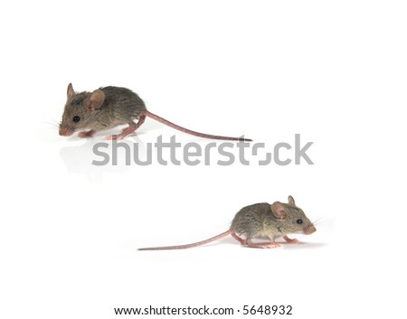 Two mice isolated on white