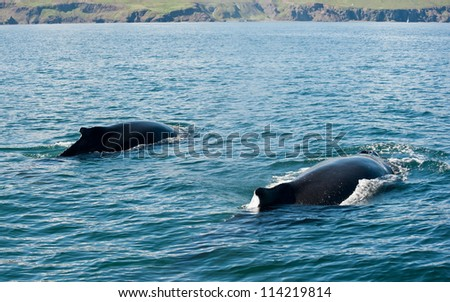 Two Mighty Humpback whales (Megaptera novaeangliae) seen from the boat near Husavik, Iceland - stock photo