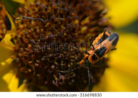 Two Milkweed Bugs Mating on a Sunflower in Macro