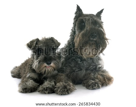 two Miniature Schnauzer in front of white background - stock photo