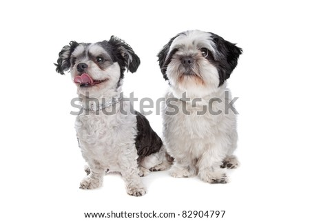 two mixed breed dogs in front of a white background