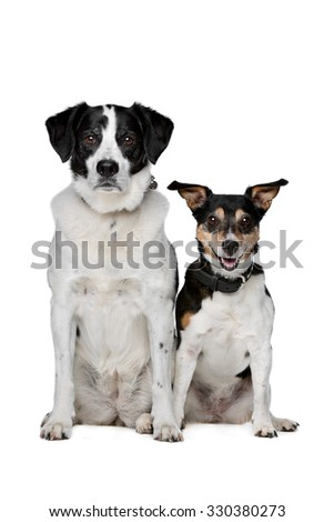two mixed breed dogs sitting in front of a white background