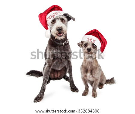 Two mixed breed grey color terrier crossbreed dogs of different sizes wearing naughty and nice Santa Claus hats - stock photo