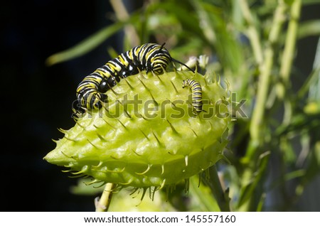 Two Monarch butterfly caterpillares , one very big and one very small, on a Milkweed. - stock photo
