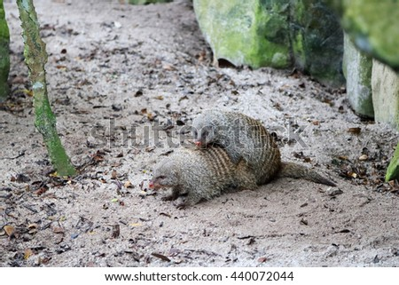 Two Mongooses are mating with one on top of the other - stock photo