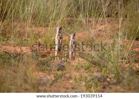 Two mongooses standing upright in the desert savannah, throwing a watchful eye on the surroundings. - stock photo