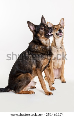 two mongrel dogs on white background