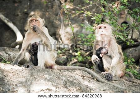 Two monkeys breast-feeding theirs babies. Prachuab Khiri Khan - Thailand - stock photo