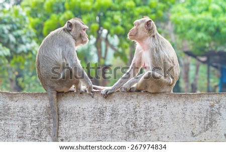 Two monkeys sitting on the wall while catch their eye - stock photo