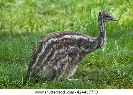 Two-month-old emu (Dromaius novaehollandiae). Wildlife animal.