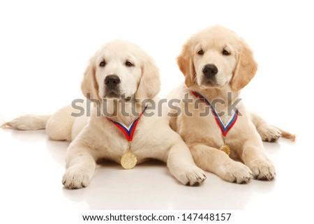 Two 3 month old puppies of golden retriever
