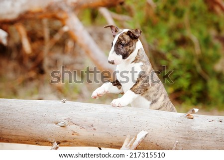 two months old english bull terrier puppy