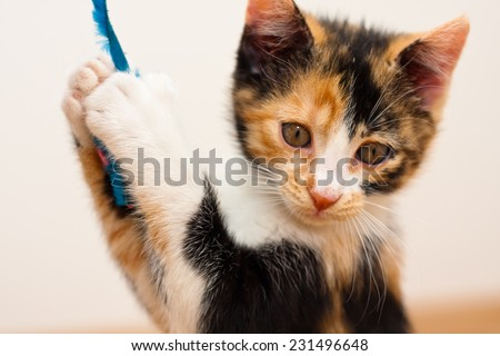Two months old multi colored calico kitten playing with a toy - stock photo