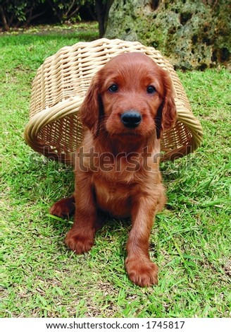Two months old pure breed red irish setter puppy hiding under a basket