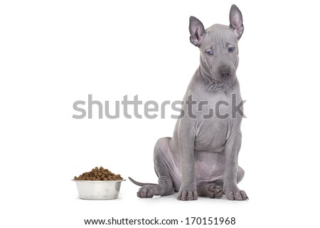 Two months old Thai ridgeback puppy staring at a bowl of kibble dog food against a white background