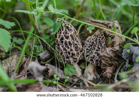 two morel in forest and spring
