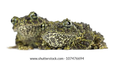 Two Mossy Frogs, Theloderma corticale, also known as a Vietnamese Mossy Frog, or Tonkin Bug-eyed Frog, portrait against white background - stock photo