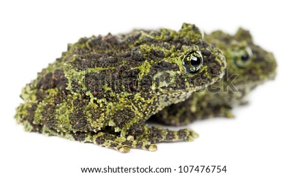 Two Mossy Frogs, Theloderma corticale, also known as a Vietnamese Mossy Frog, or Tonkin Bug-eyed Frog, against white background - stock photo