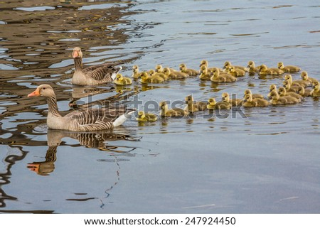 Two mother geese with their newly hatched chicks - stock photo