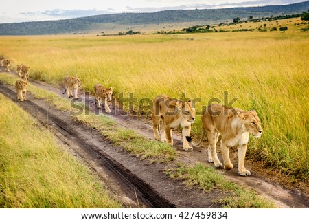 Two Mothers Lioness with her cubs in Masai Mara reserve, Kenya - stock photo