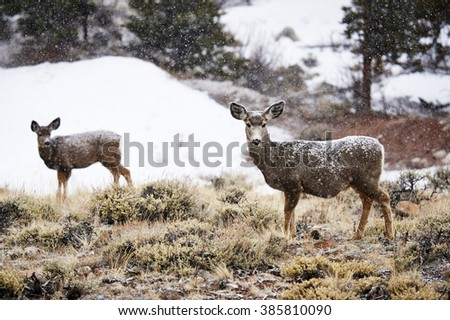 two mountain deer, standing in the snow - stock photo