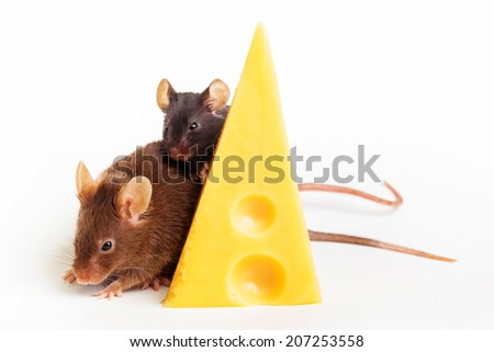 Two mouses with a slice of swees cheese, isolated on white - stock photo