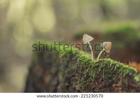 Two mushrooms on a tree stump in autumn - stock photo