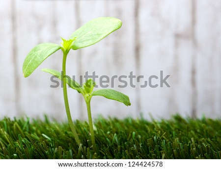 two new small sprout in the green grass - stock photo