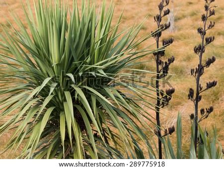 Two New Zealand native plants - cabbage tree and flax - stock photo