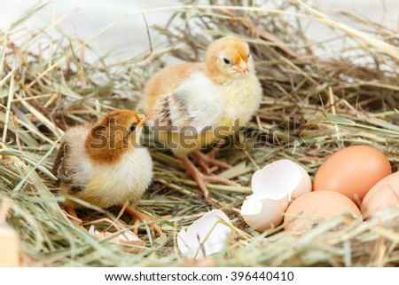 Two newborn chicks got off their shells - stock photo