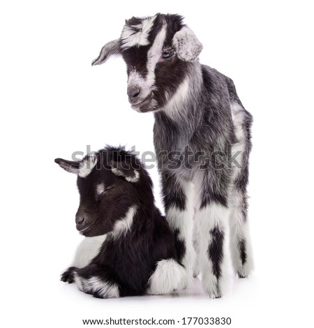 two newborn goat. farm animal. Isolated on white background - stock photo