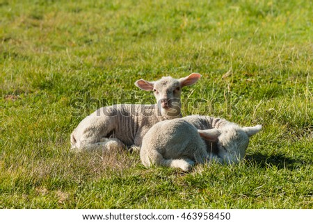 two newborn lambs resting on meadow