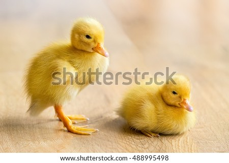 Two newborn yellow ducklings on wooden floor