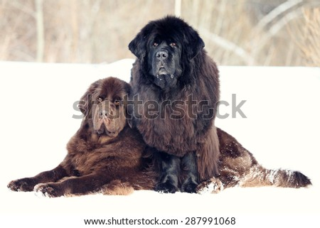 Two Newfoundland dogs lie winter - stock photo